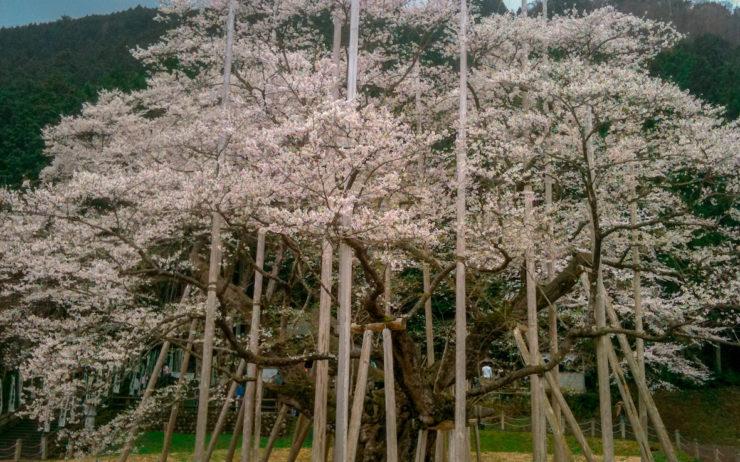 Usuzumi Sakura
