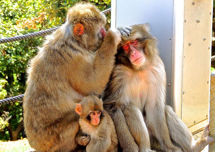 iwatayama_monkeys