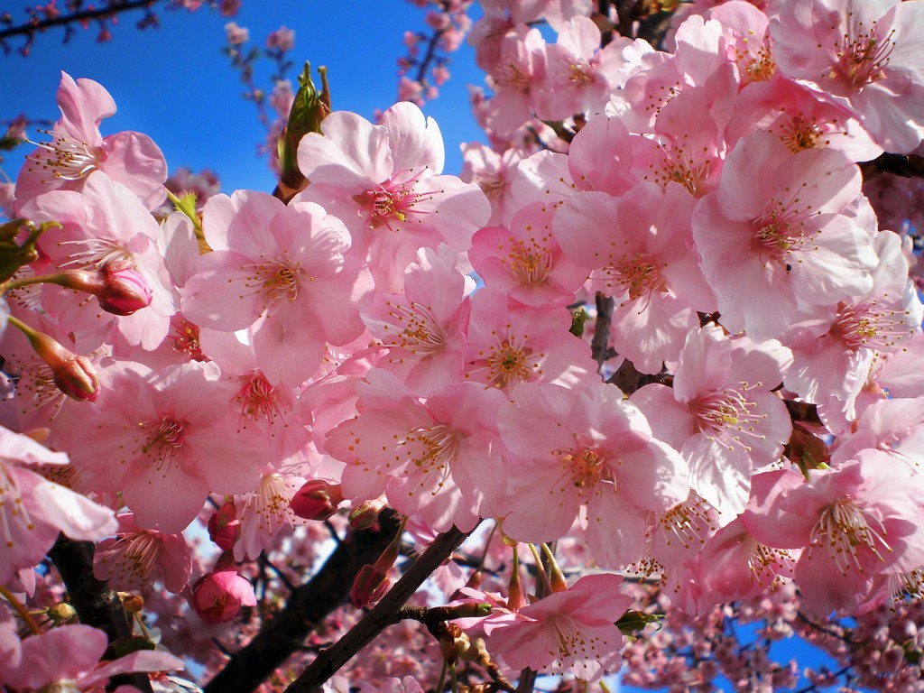 The Significance Of The Cherry Blossoms In Japan