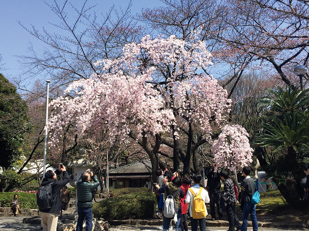 sakura-people