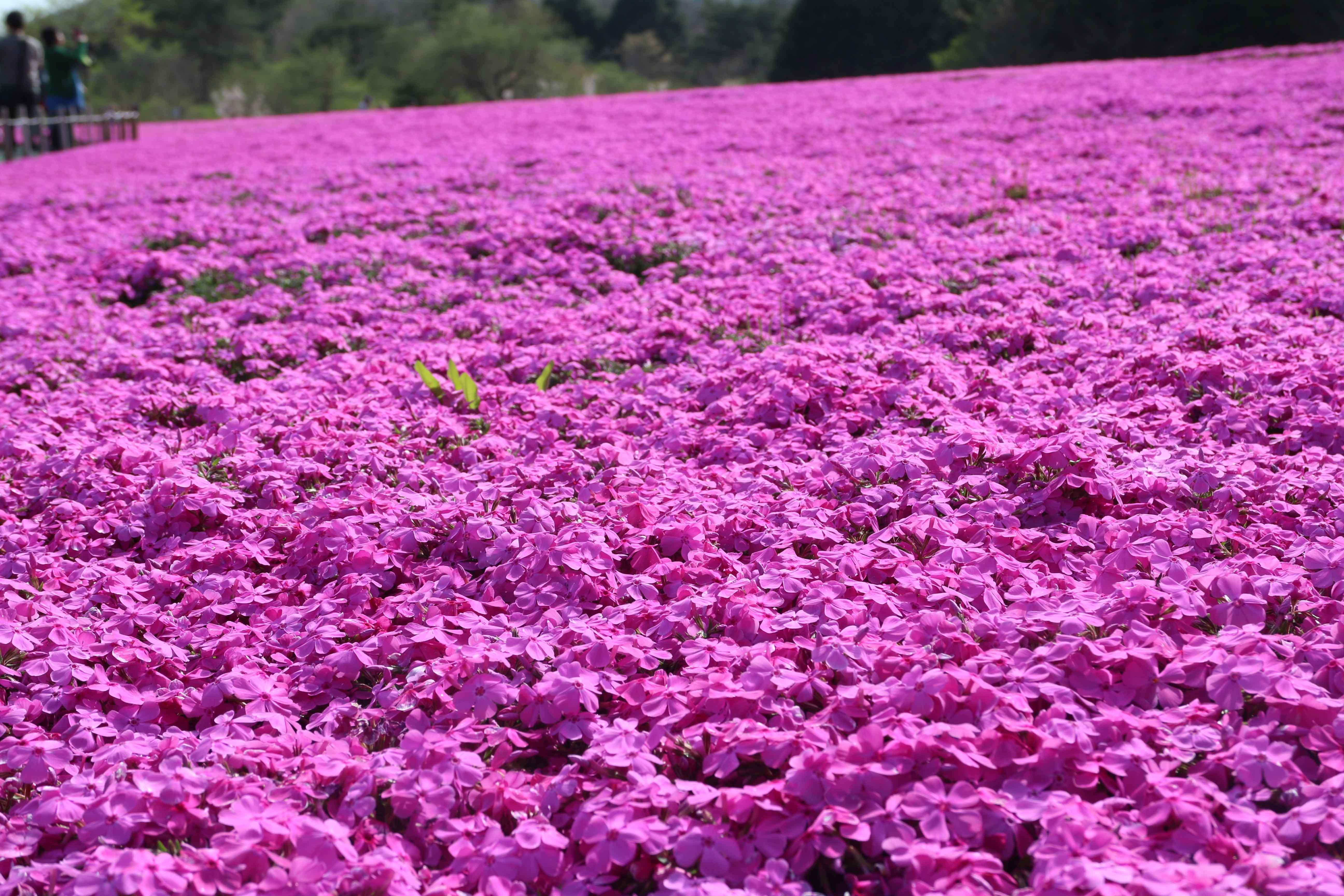 Shibazakura Flowers up close