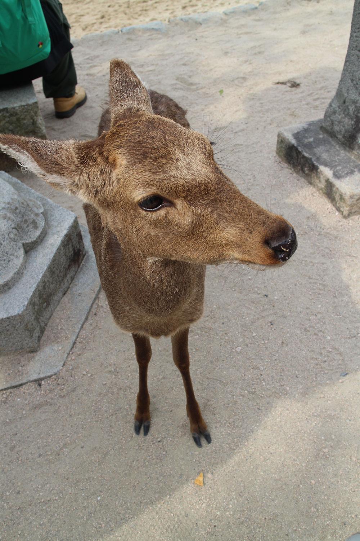 hiroshima-deer