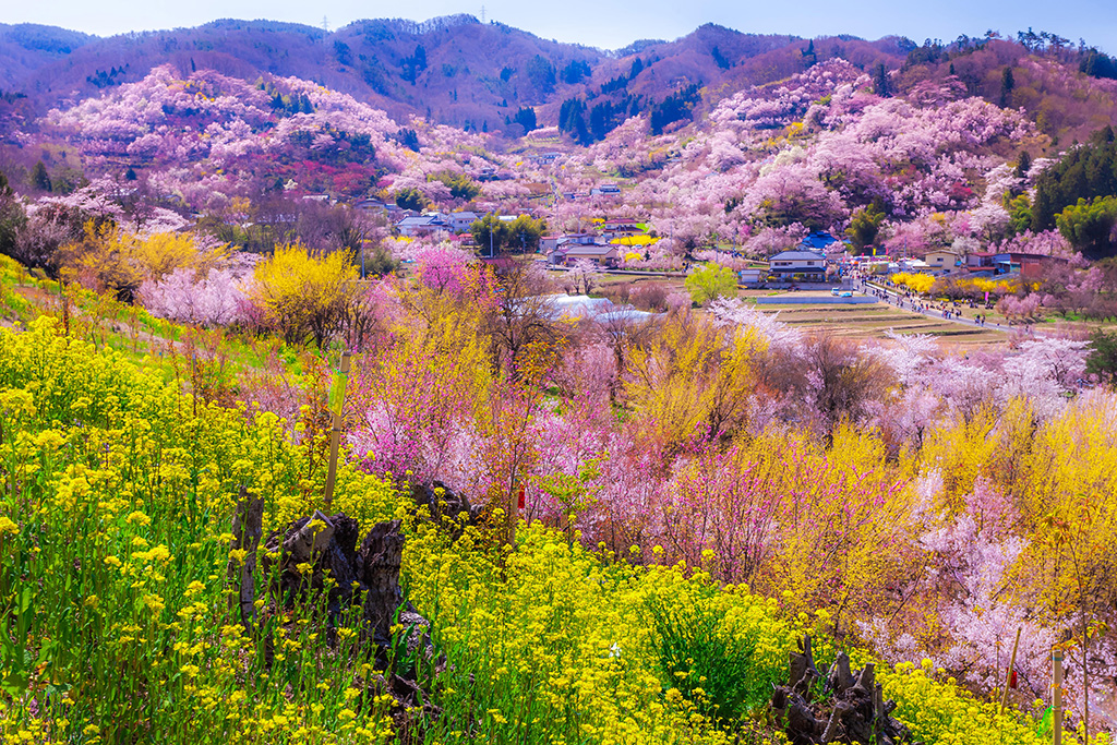 A guide to cherry blossom in Fukushima