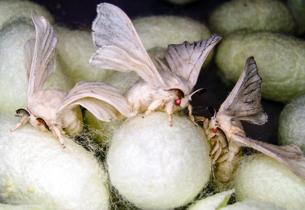 Domestic silk moths and cocoons.