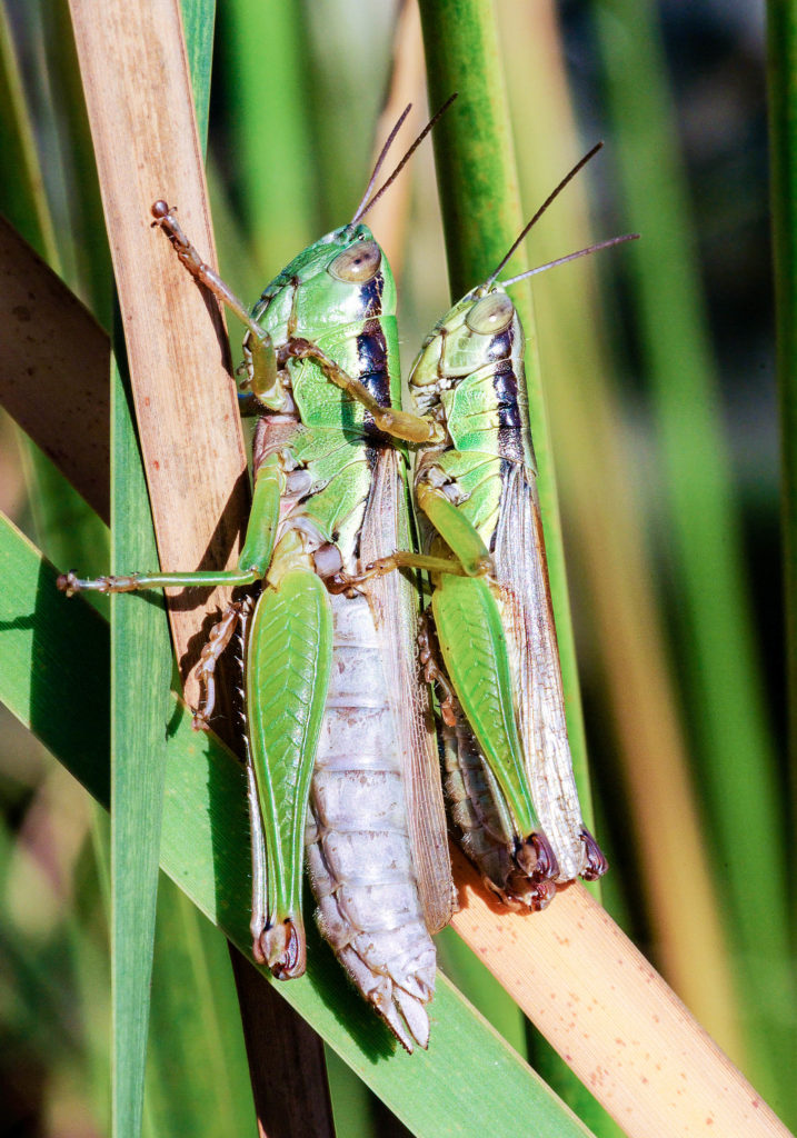 Adult male and female rice grasshoppers.