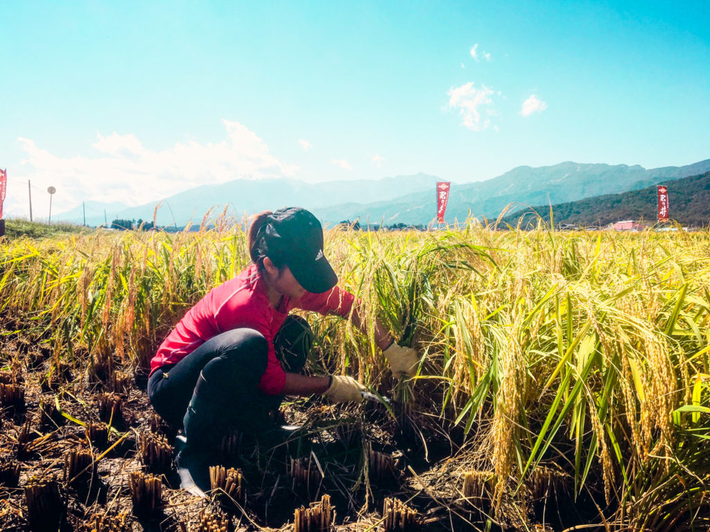 As someone who grew up in the concrete city of Hong Kong, being able to get my hands on rice harvesting was a refreshing, precious experience!