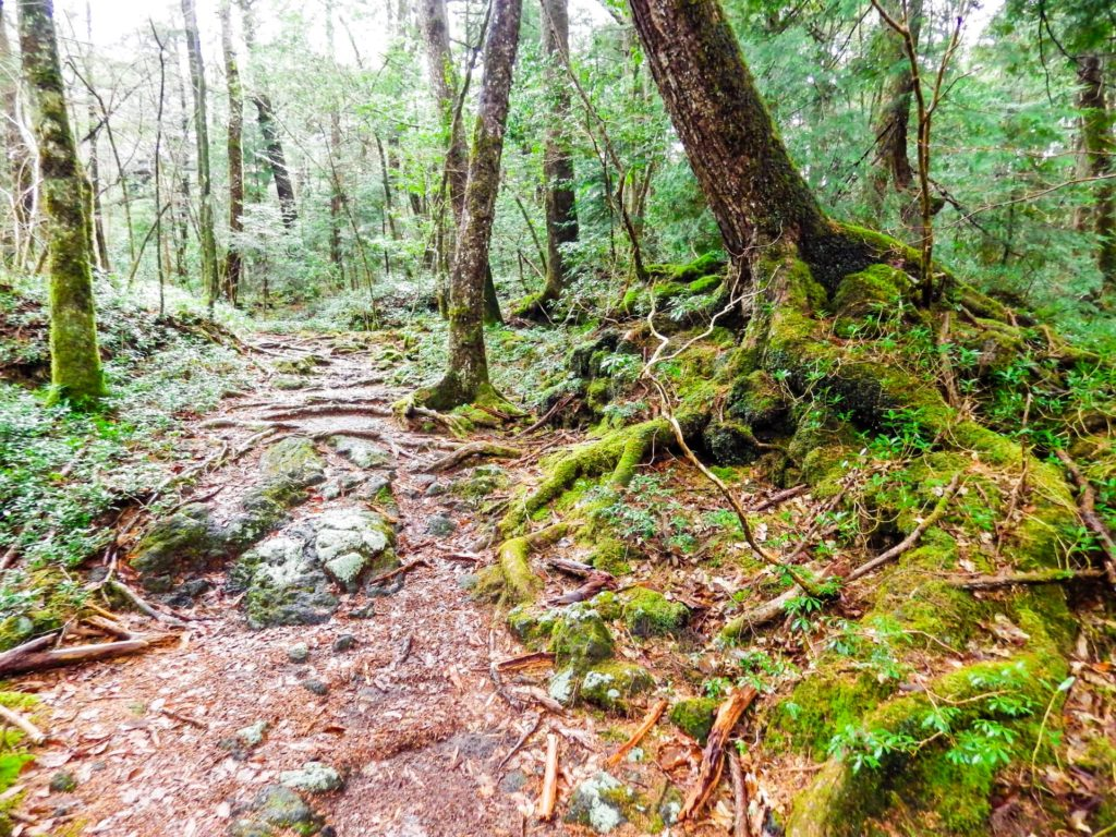 The moss blanketing the exposed tree roots in Jukai absorbs water for them the way soil would.