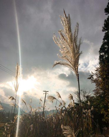 Soba plant in Sakunami Onsen