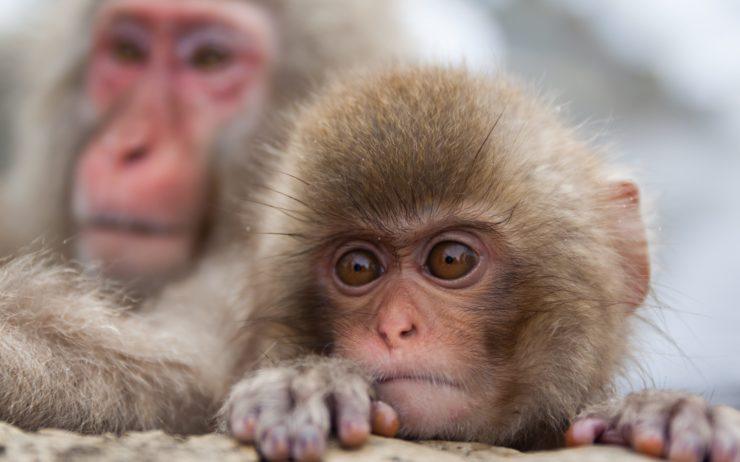 ISI Nagano monkey