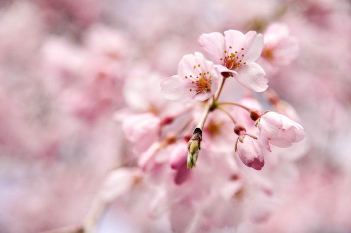 2018 GaijinPot Cherry Blossom Contest Winners