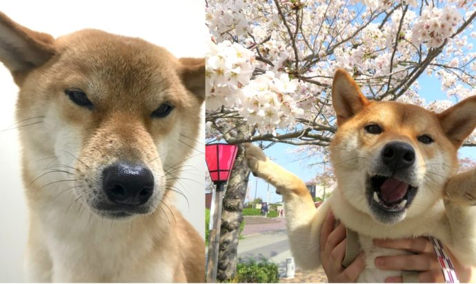 Meet Beni, the Dog Who Probably Speaks Better Japanese Than You