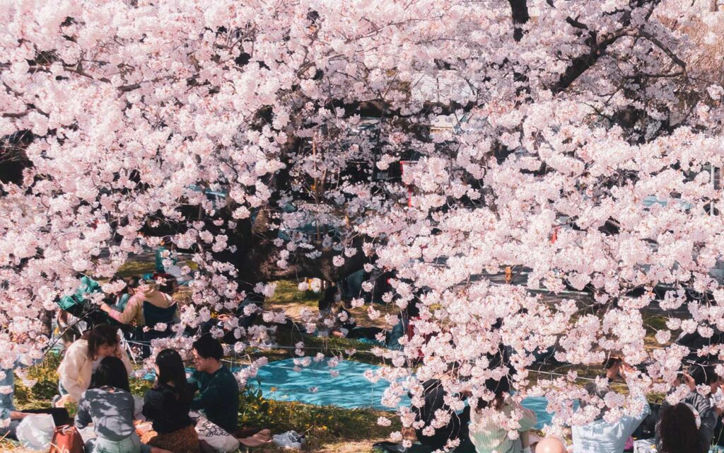 How Did Cherry Blossom Viewing Start in Japan?