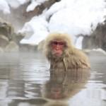 Monkeys bathing in the onsen in Nagano
