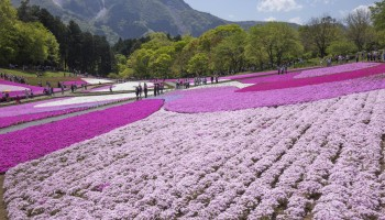 Flower-viewing at Hitsujiyama Park, Chichibu in Saitama Prefecture