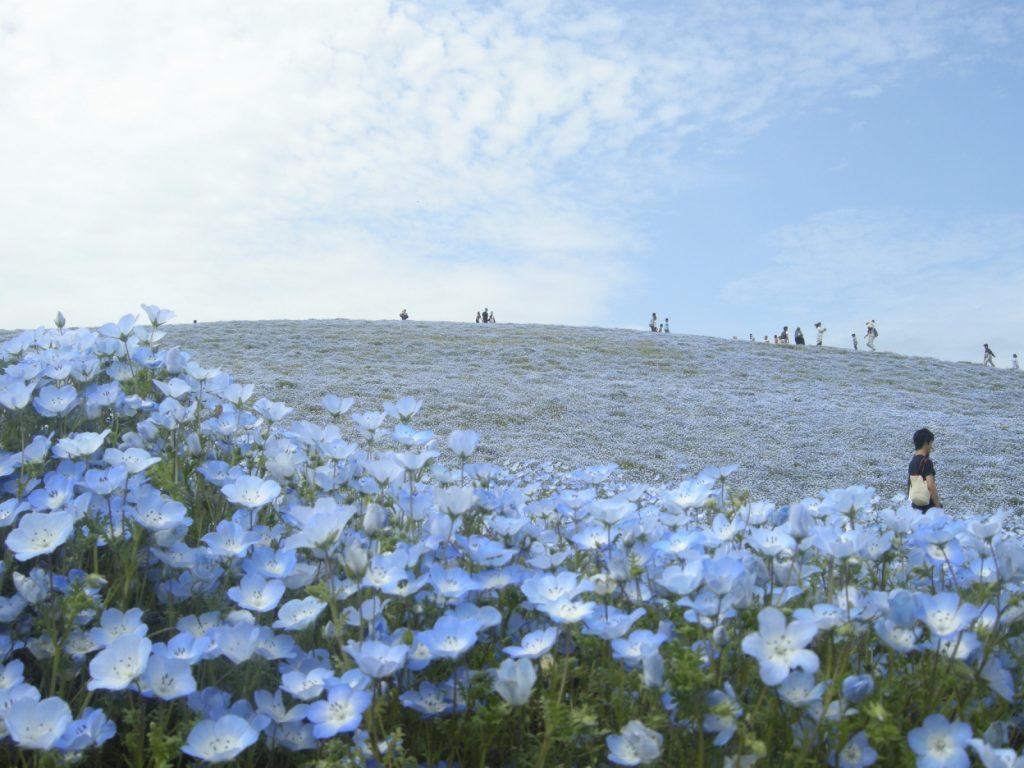From late April to early May, Mitarashi Hill is covered in 4.5 million nemophila flowers, transforming the hill into a sea of blue.