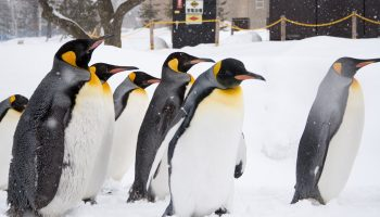 A group of penguins, which is the popular main tourist attraction in Asahikawa Zoo in Hokkaido, Japan.