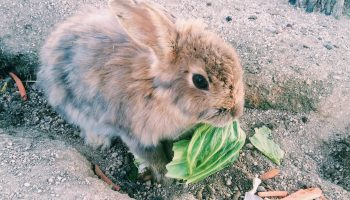 """Rabbit on Okunoshima """"rabbit island"""" Japan"""