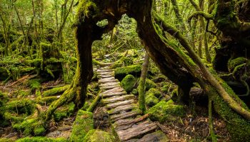 A forest walkway that goes under a large cedar tree in Yakushima.