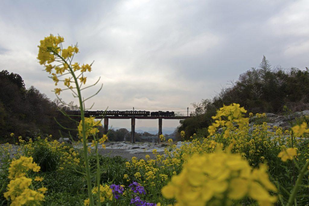 Rape flowers and a steam locomotive