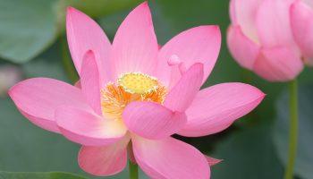 Pink lotus and bud at Gyoda in Saitama