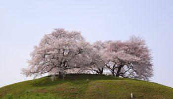 """""""Cherry tree on the hill, Sakitama Kofun, Saitama, Japan"""""""