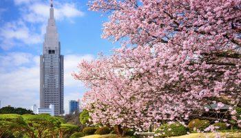 Tokyo, Japan springtime at Shinjuku Gyoen Park.