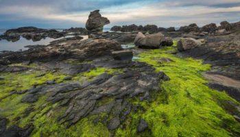 Sea Moss Near Kabuto Rock At Senjojiki