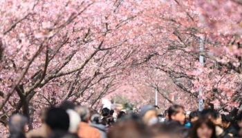 ueno park cherry blossom