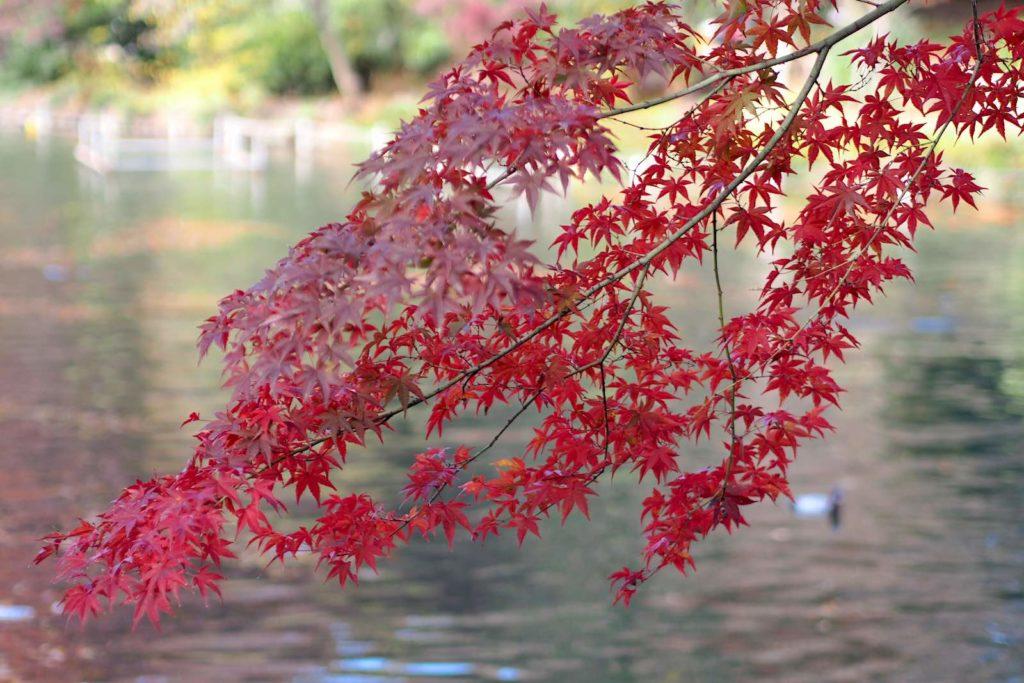 Inokashira Park, autumn